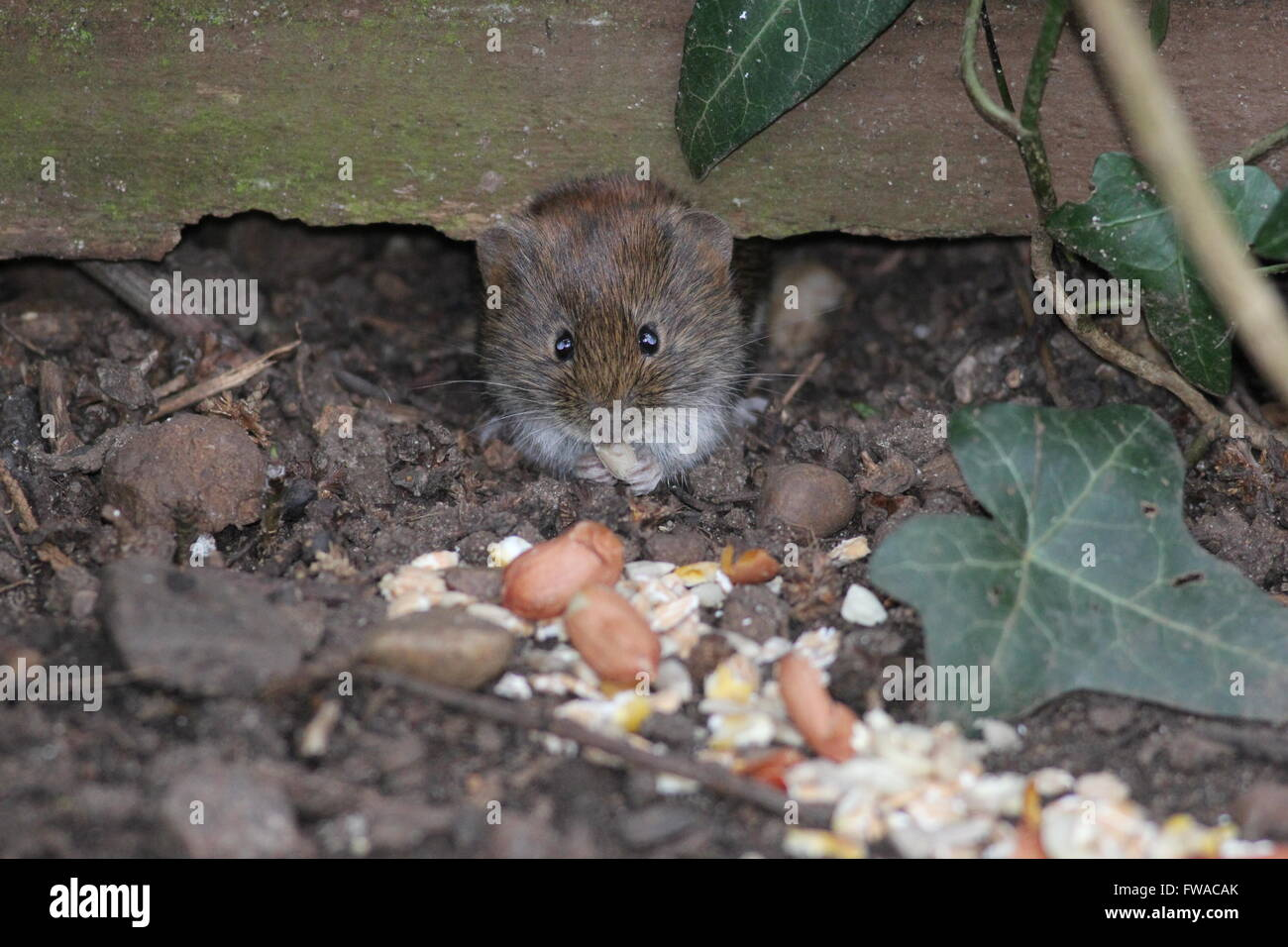 Bank vole peering from under a garden fence. - Stock Image