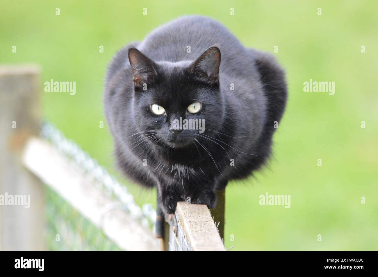 A black cat ready to pounce - Stock Image