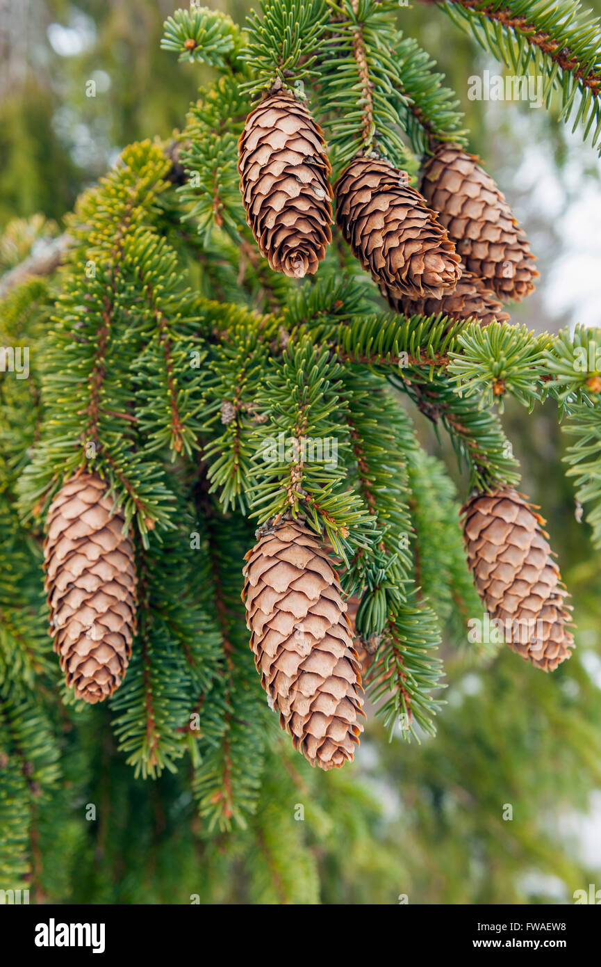 Spruce cones - Stock Image