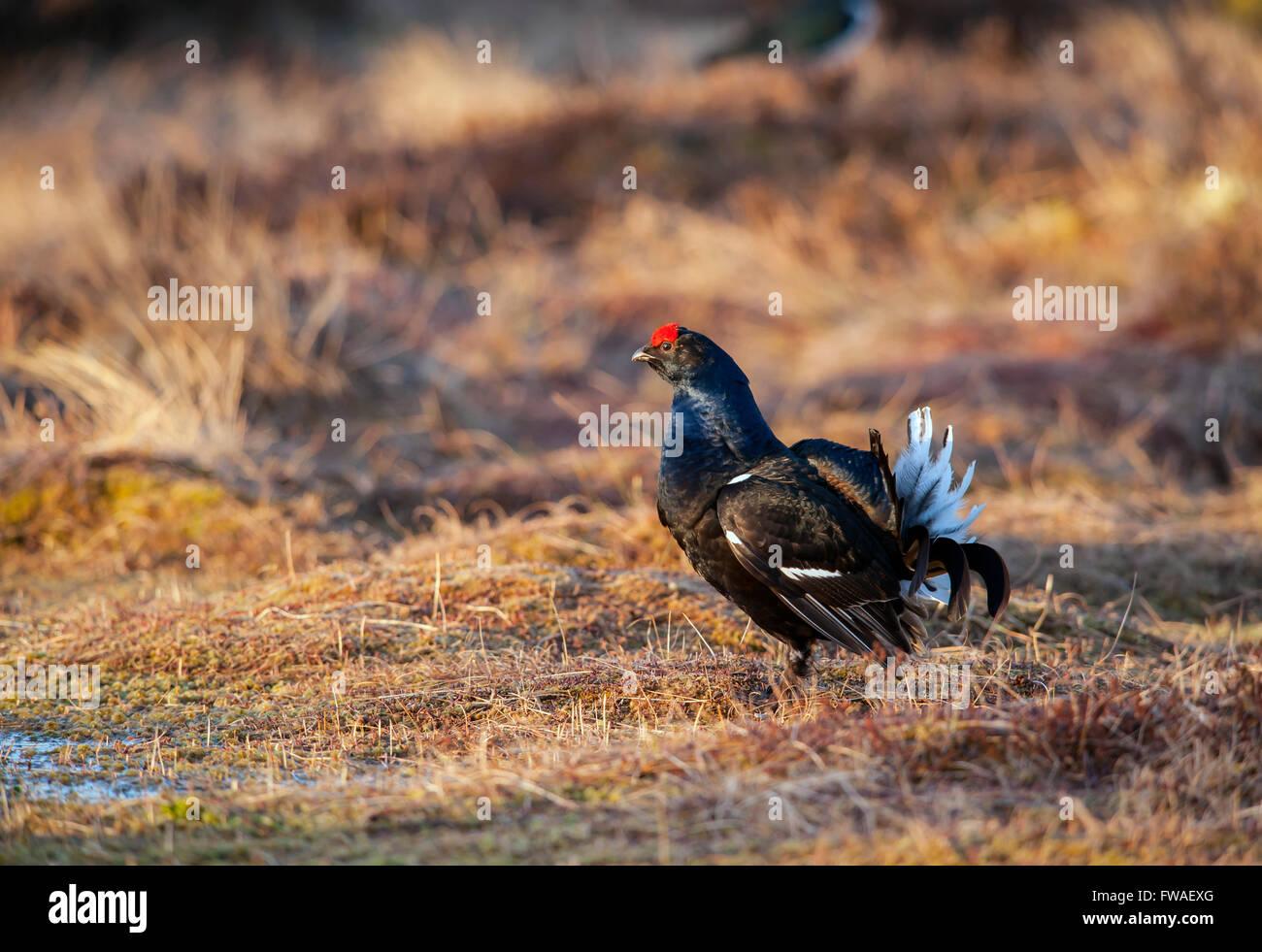 Black grouse (Tetrao tetrix) - Stock Image