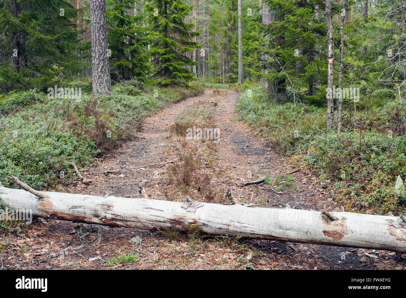 Forest road blocked by fallen tree, Sweden - Stock Image