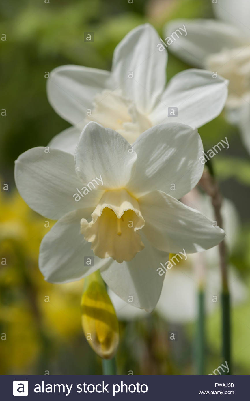 daffodil Narcissus 'Pueblo' - Stock Image