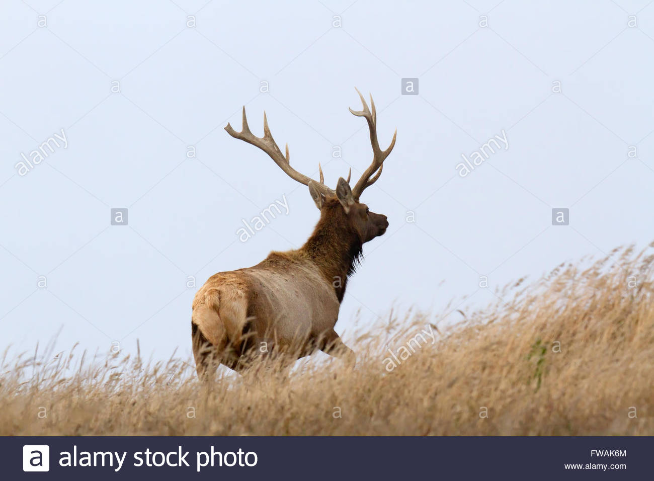 Male Tule Elk standing up in the grass, Point Reyes National Seashore, CA - Stock Image