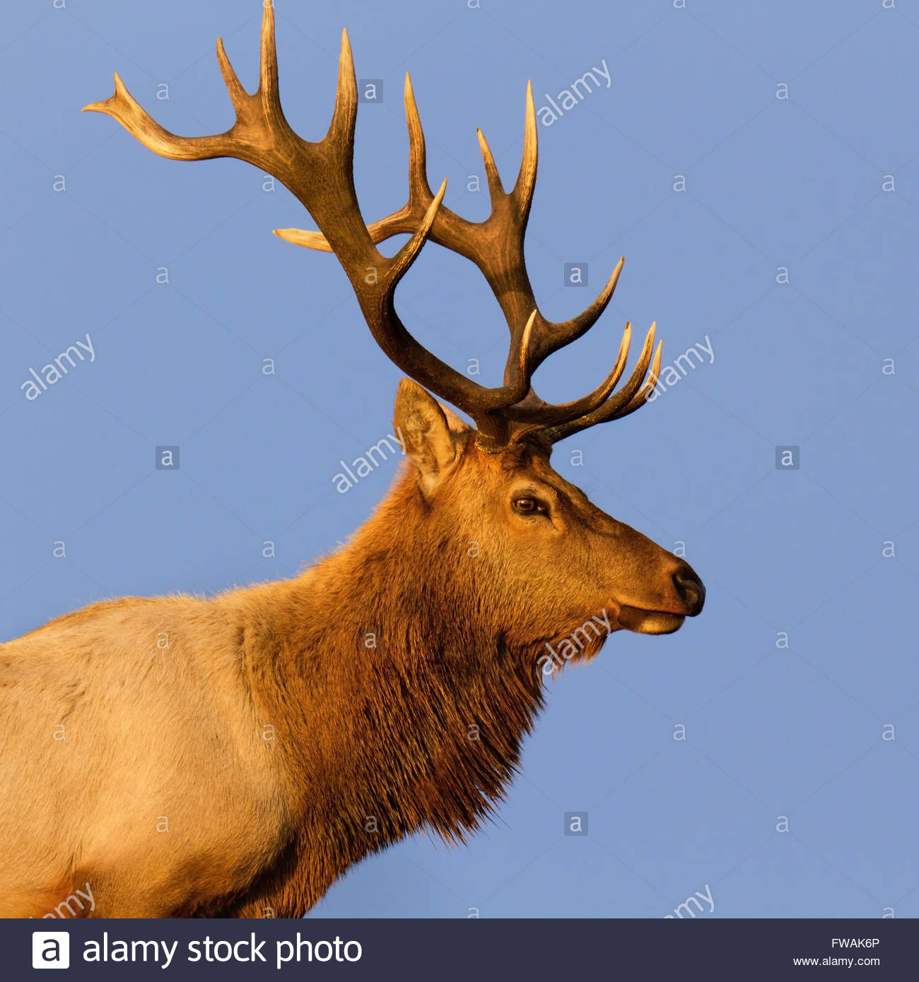 Male Tule Elk Close-up in Sunset, Point Reyes National Seashore, CA. - Stock Image