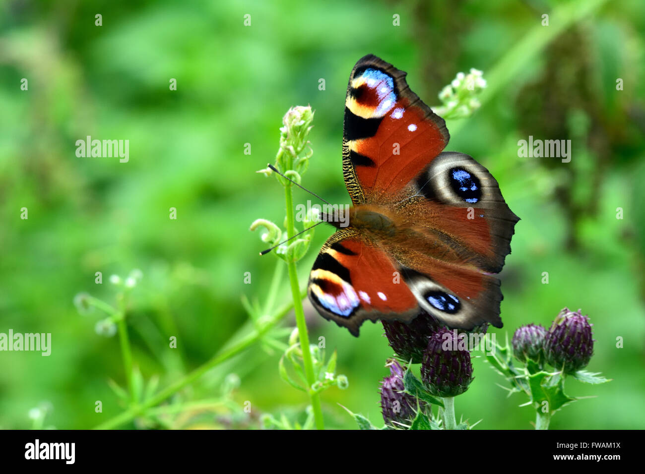 Peacock butterfly (Aglais io) on creeping thistle. A familiar and colourful butterfly in the family Nymphalidae - Stock Image