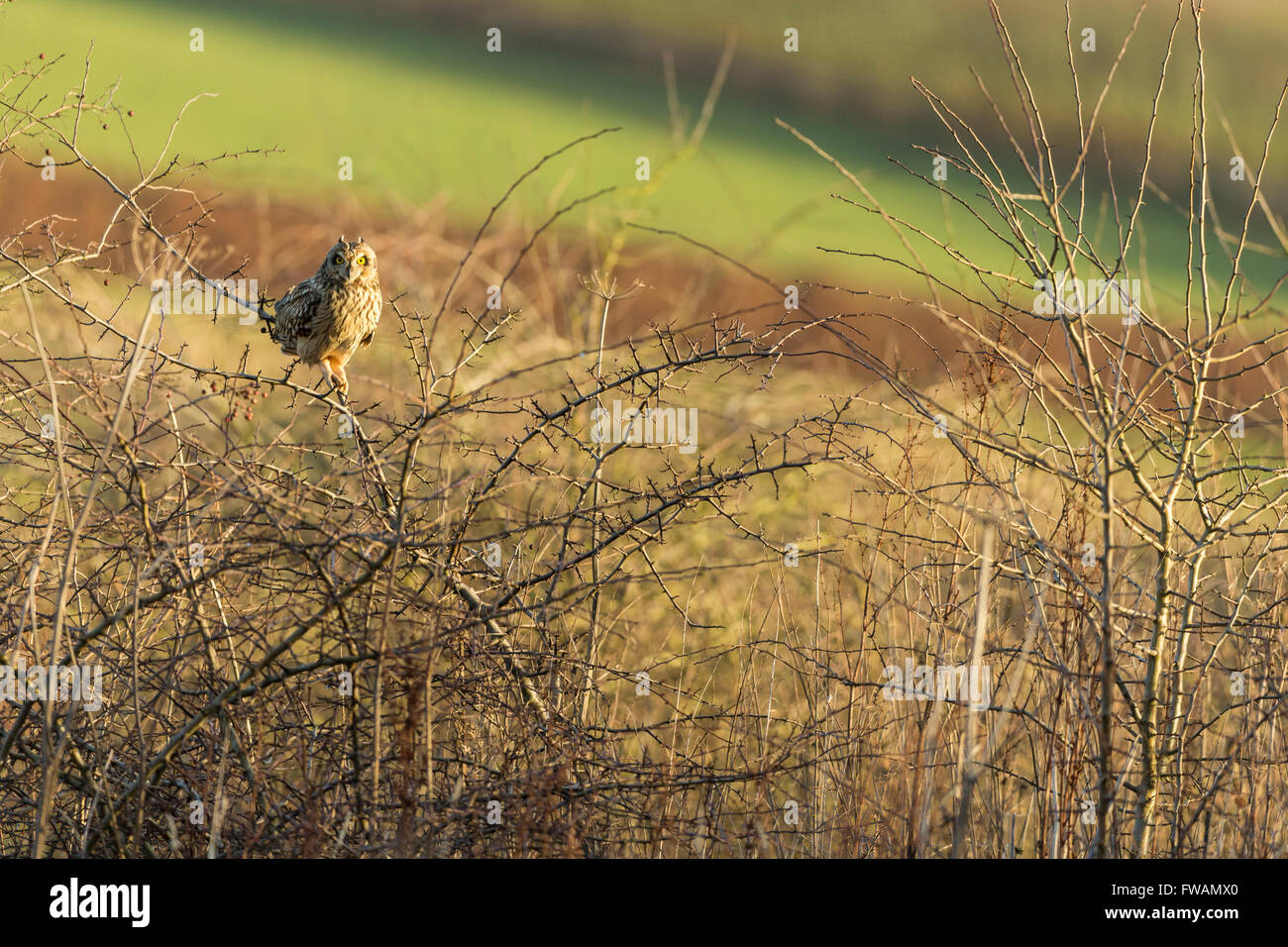 Short-eared owl Asio flammeus, perched in hedgerow on farmland, Berwick Bassett, Wiltshire, UK in December. - Stock Image
