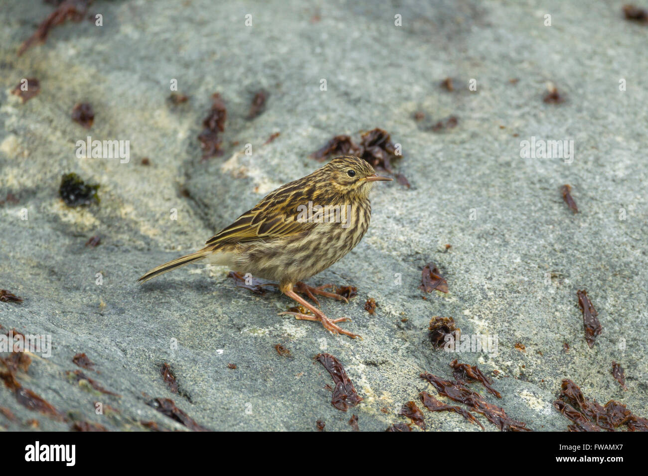 South georgia pipit Anthus antarcticus, foraging along rocky shoreline, Cooper Island, South Georgia in January. - Stock Image