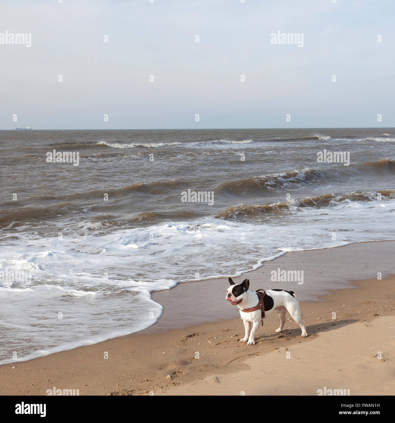 black and white pug dog on beach near surf - Stock Image