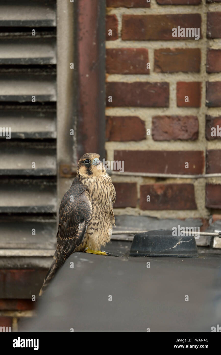 Peregrine Falcon ( Falco peregrinus ) perched in the edge of a roof on top of an industrial building, typical substitute - Stock Image