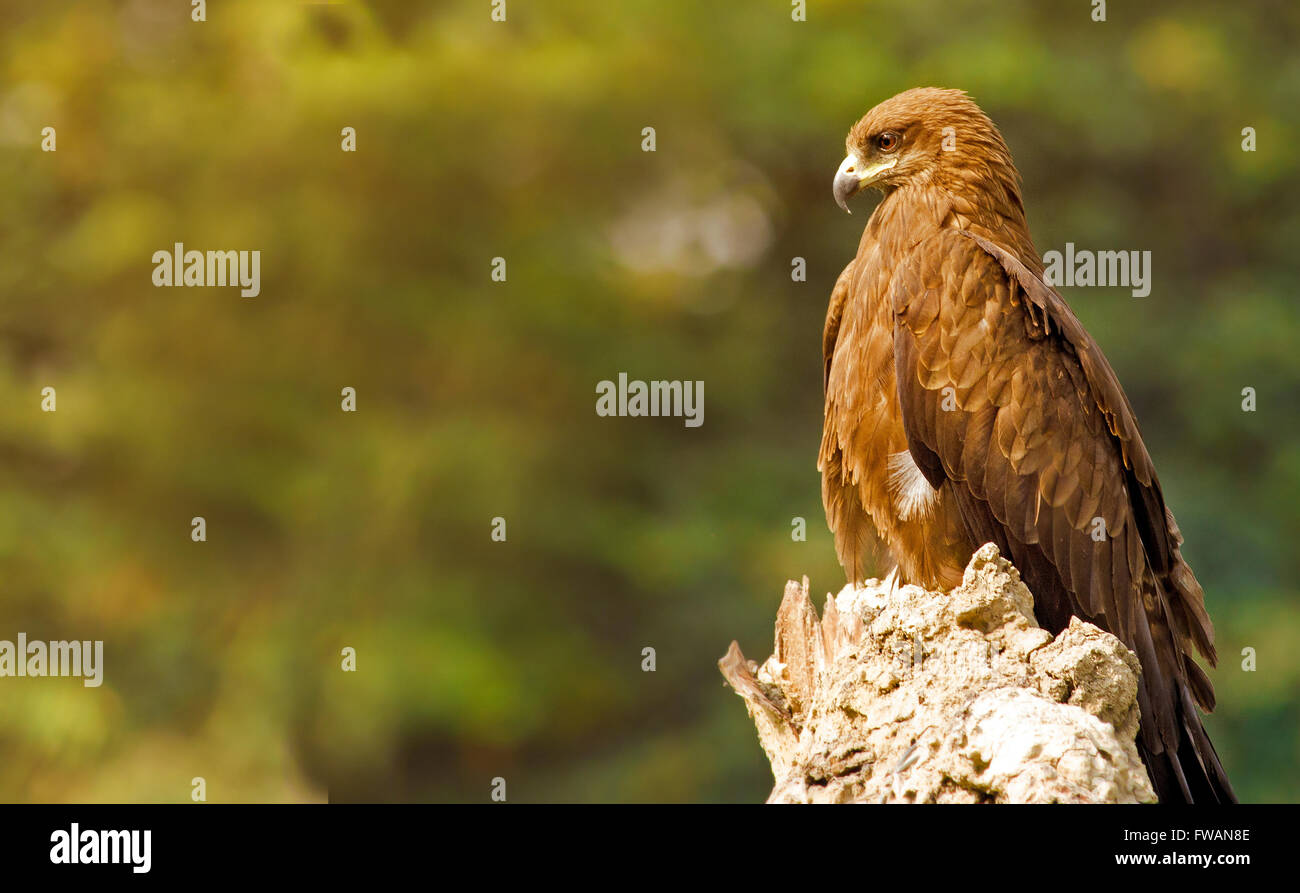 The King: Black Kite perched on tree trunk with golden light falling on front - Stock Image