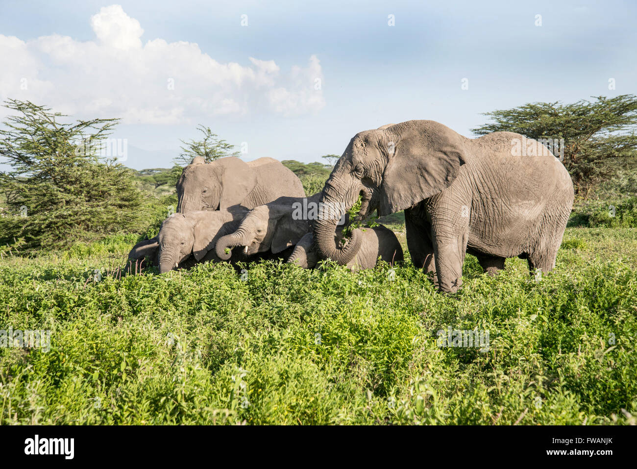 Elephant (Loxodonta africana). Family group browsing and grazing. - Stock Image