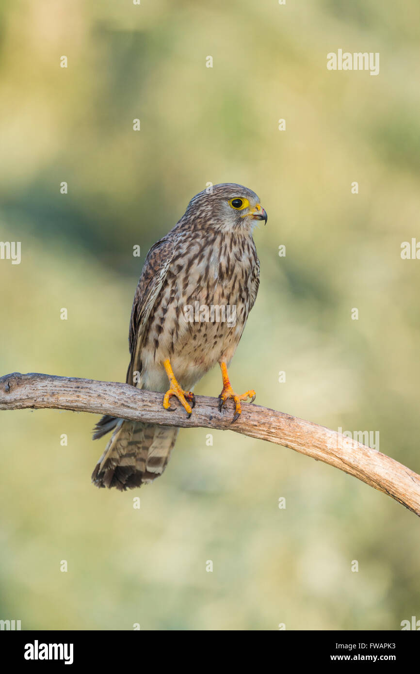 Common kestrel Falco tinnunculus, adult female, perched on branch, Kiskunfélegyháza, Hungary in June. - Stock Image