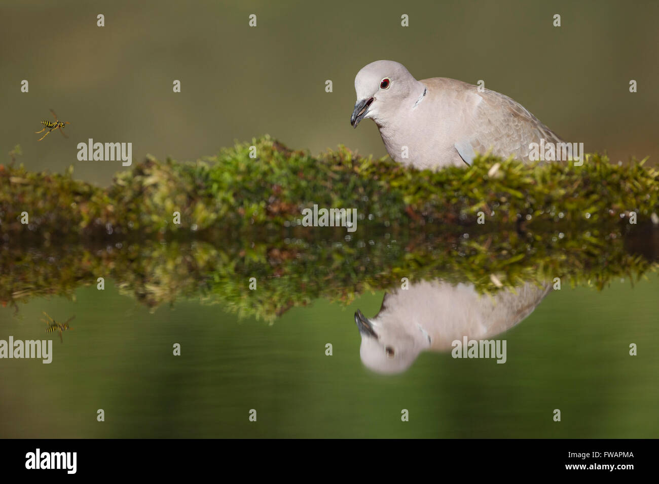 Eurasian collared dove Streptopelia decaocto, adult, perched by woodland pool, Lakitelek, Hungary in June. Stock Photo