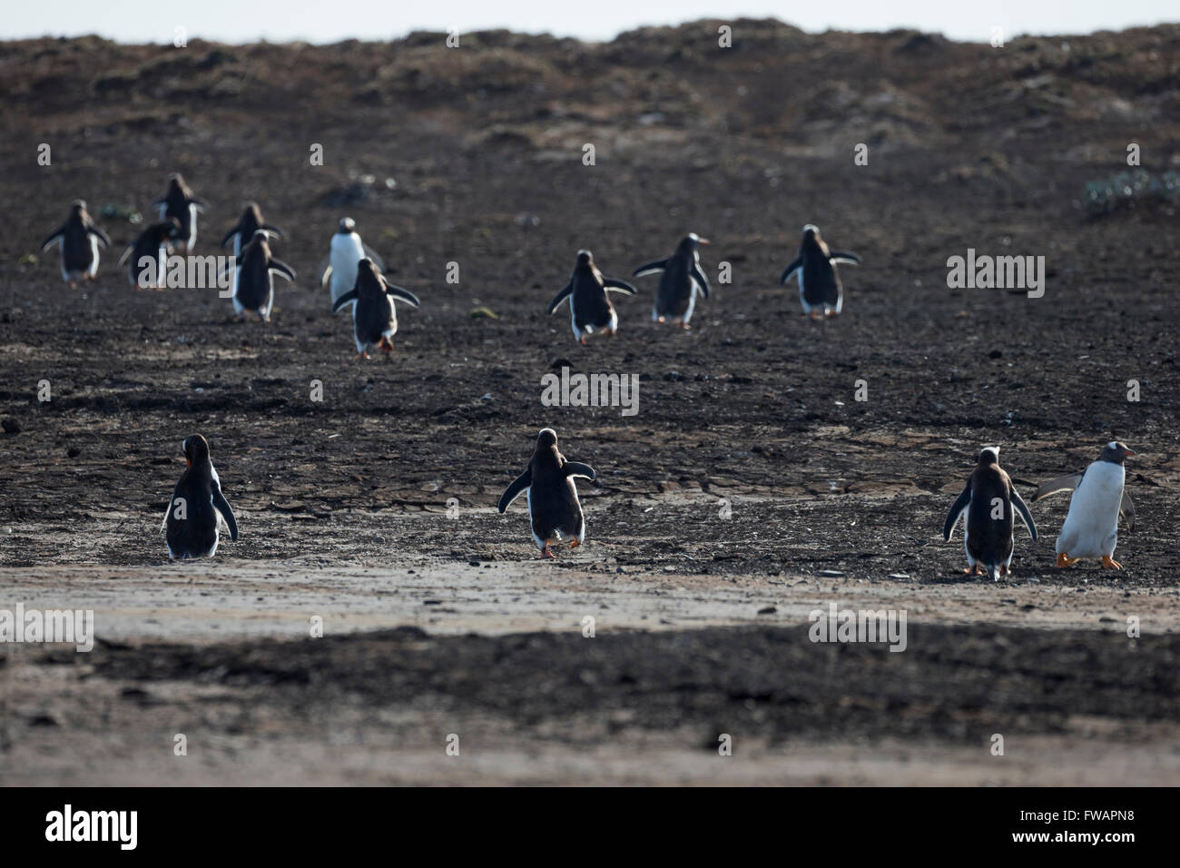 Gentoo penguin Pygoscelis papua, group walking back to their colony, Sea Lion Island, Falkland Islands in December. - Stock Image