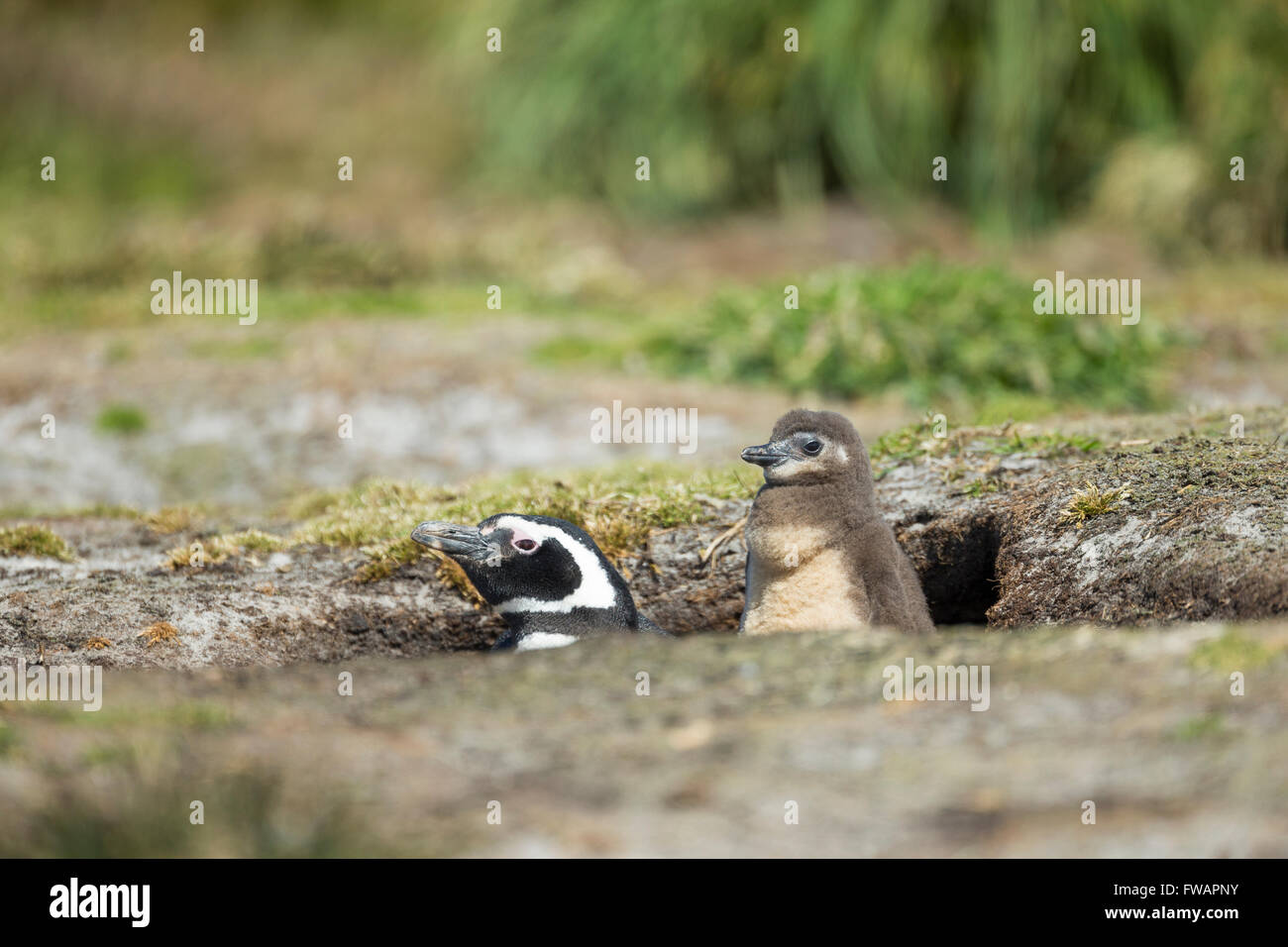 Magellanic penguin Spheniscus magellanicus, adult and chick, by nesting burrow, Sea Lion Island, Falkland Islands - Stock Image