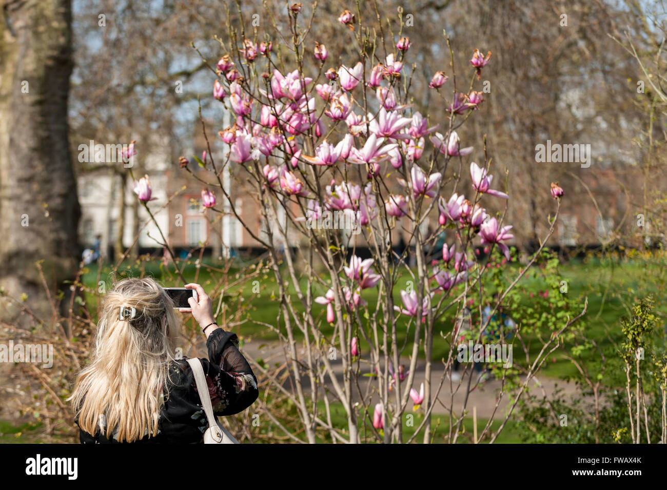 London, UK.  2 April 2016.  A woman photographs a magnolia tree as spring sunshine and warm temperatures bring Londoners and tourists out to enjoy the weather in St. James's Park. Credit:  Stephen Chung / Alamy Live News Stock Photo
