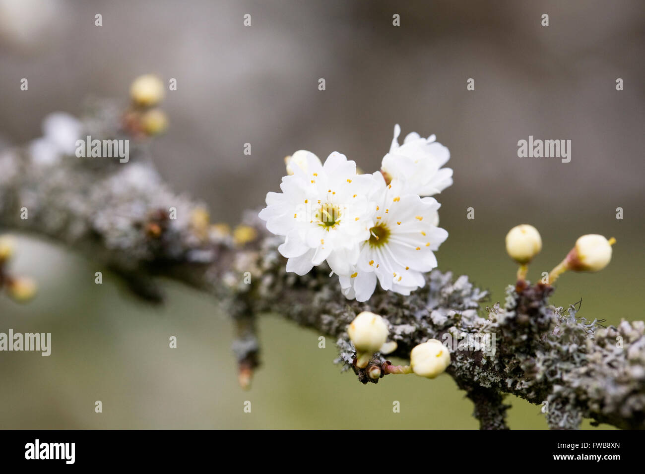 Prunus spinosa 'Plena'. Blackthorn flowers in Spring.blossoms - Stock Image