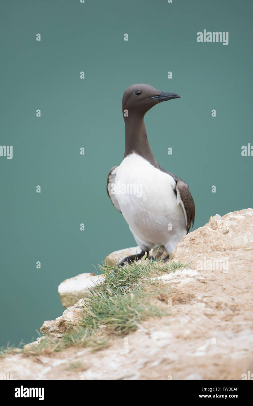 An adult Guillemot (Uria aalge)  in summer breeding plumage on cliff edge with sea in background, Bempton Cliffs, Stock Photo