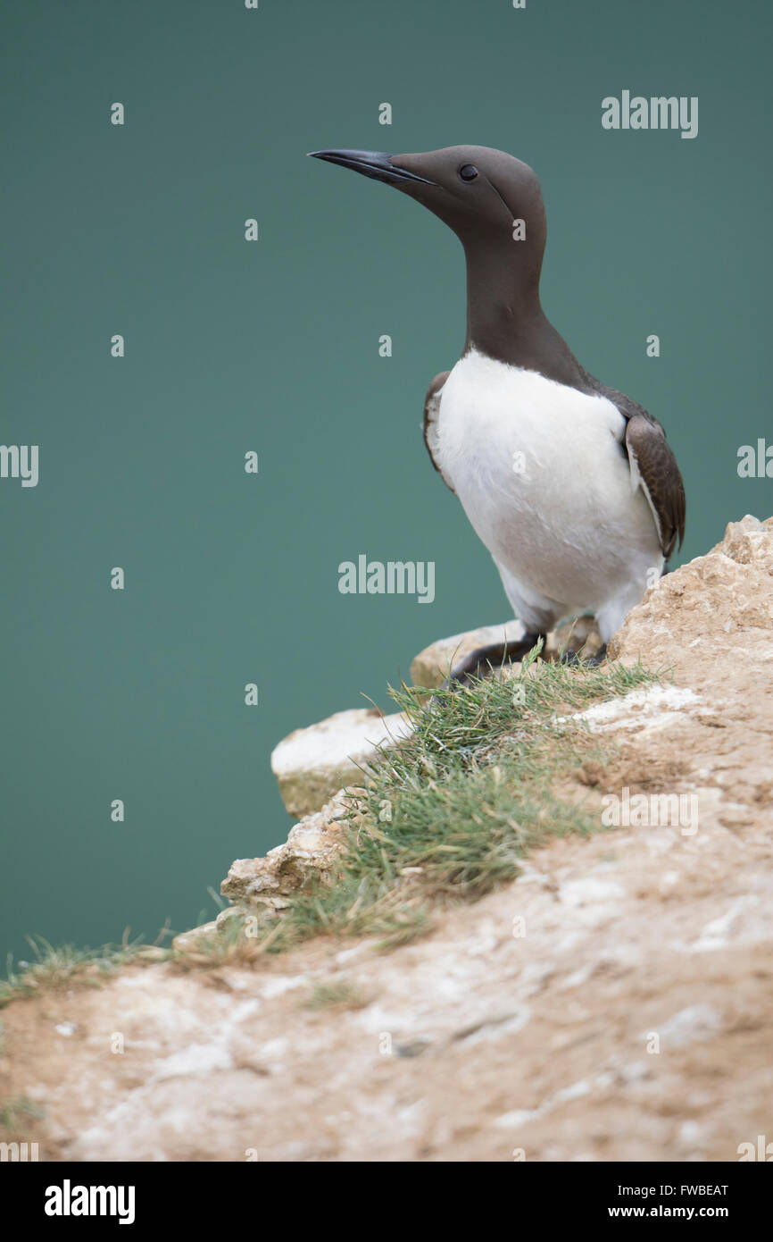 An adult Guillemot (Uria aalge)  in summer breeding plumage on cliff edge with sea in background, Bempton Cliffs, East Yorkshire Stock Photo