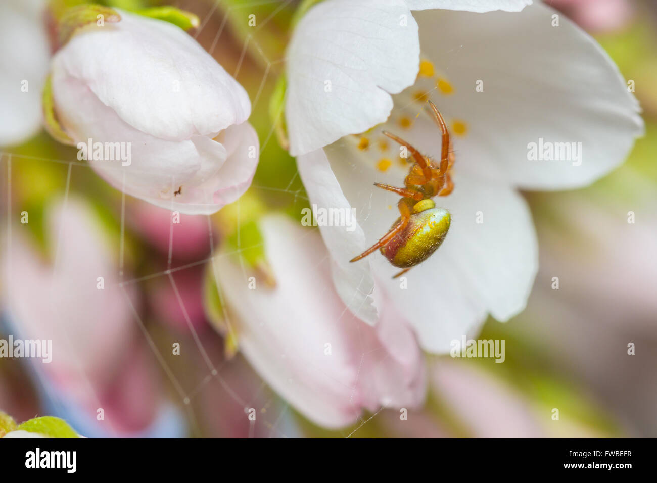 Cucumber Green spider (Araniella species) on cherry blossom. Spider has been parasatised by a wasp larva - Stock Image