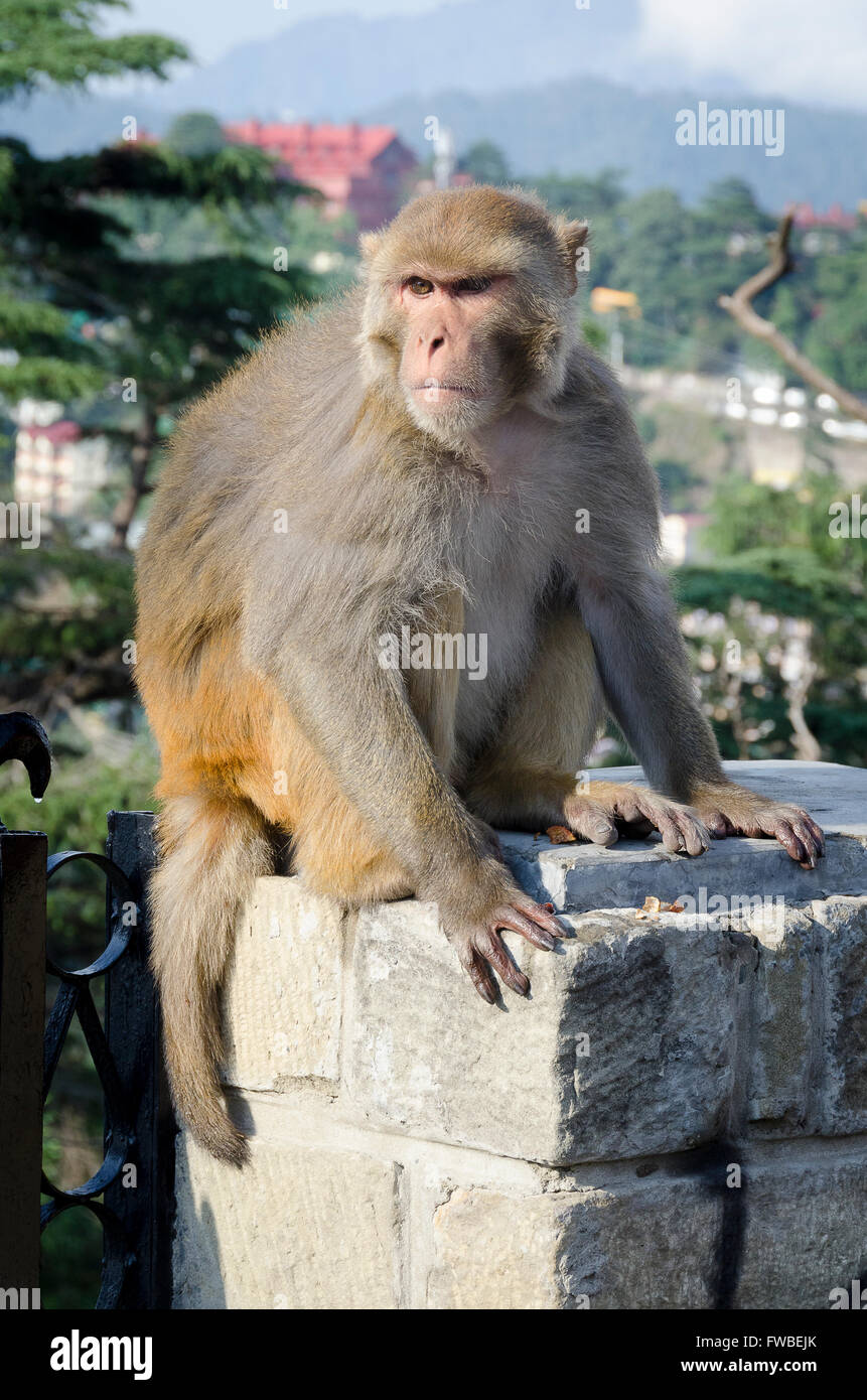 Monkey on wall, The Ridge, Simla, Himachal Pradesh, India, - Stock Image