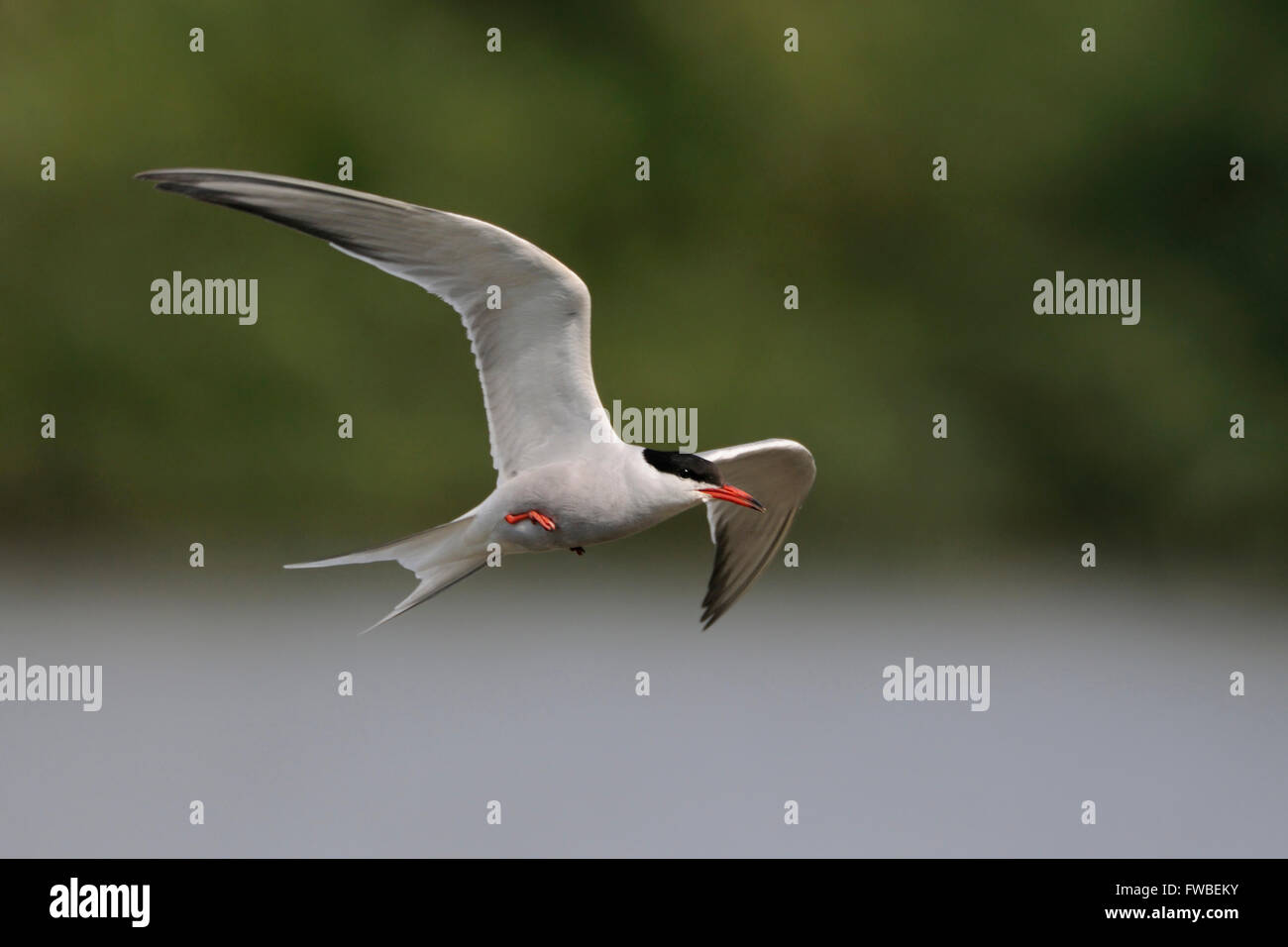 Elegant Common Tern ( Sterna hirundo ) in elegant flight over inland waters in front of a nice natural background. - Stock Image