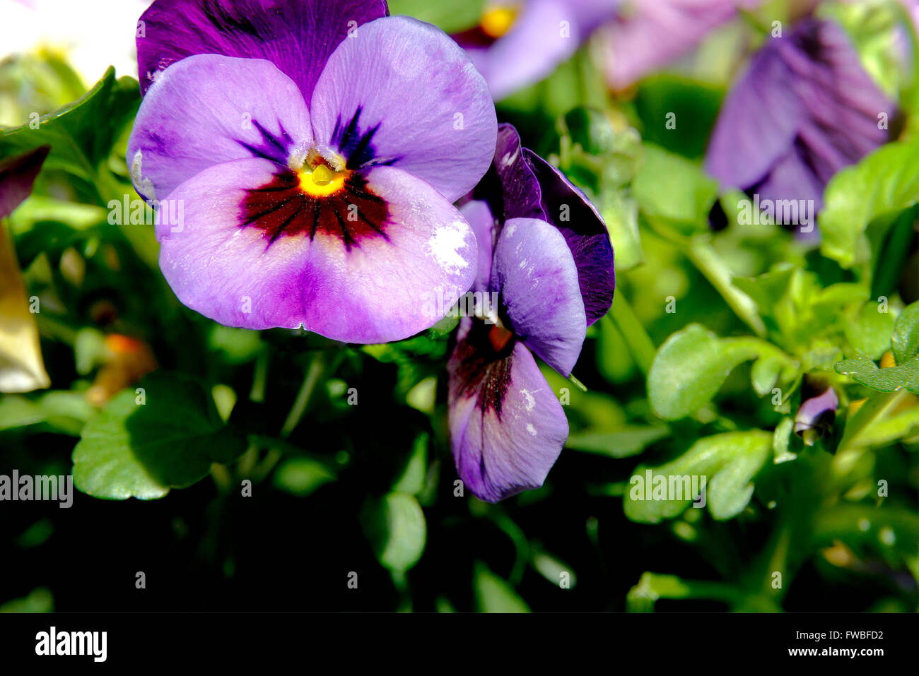Botanic gardening plant : macro shot of purple viola cornuta (horned pansy or horned violet) - Stock Image
