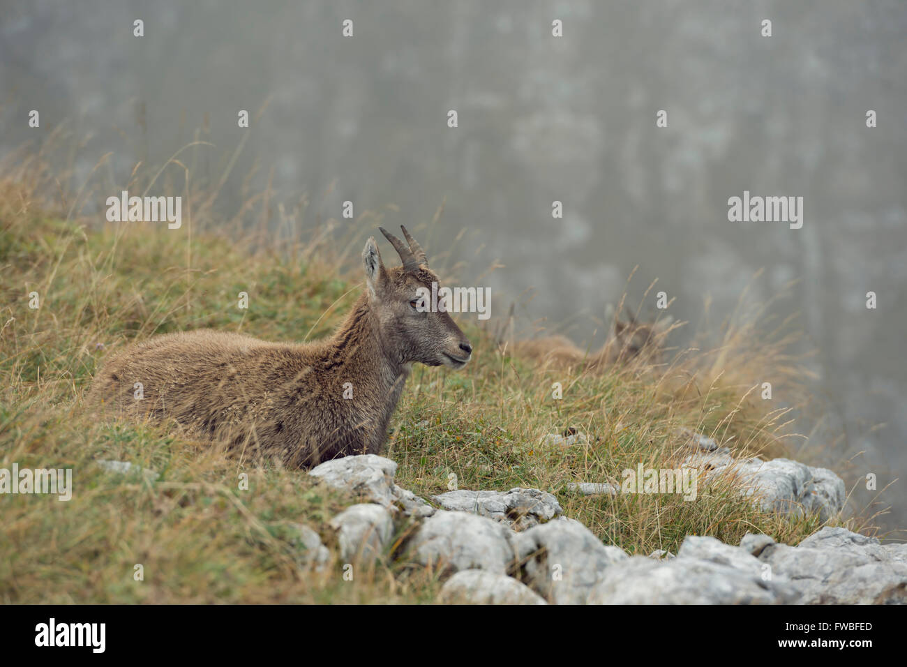Alpine Ibex / Steinbock ( Capra ibex ), young animal, resting between rocks in the grass of an alpine meadow for - Stock Image