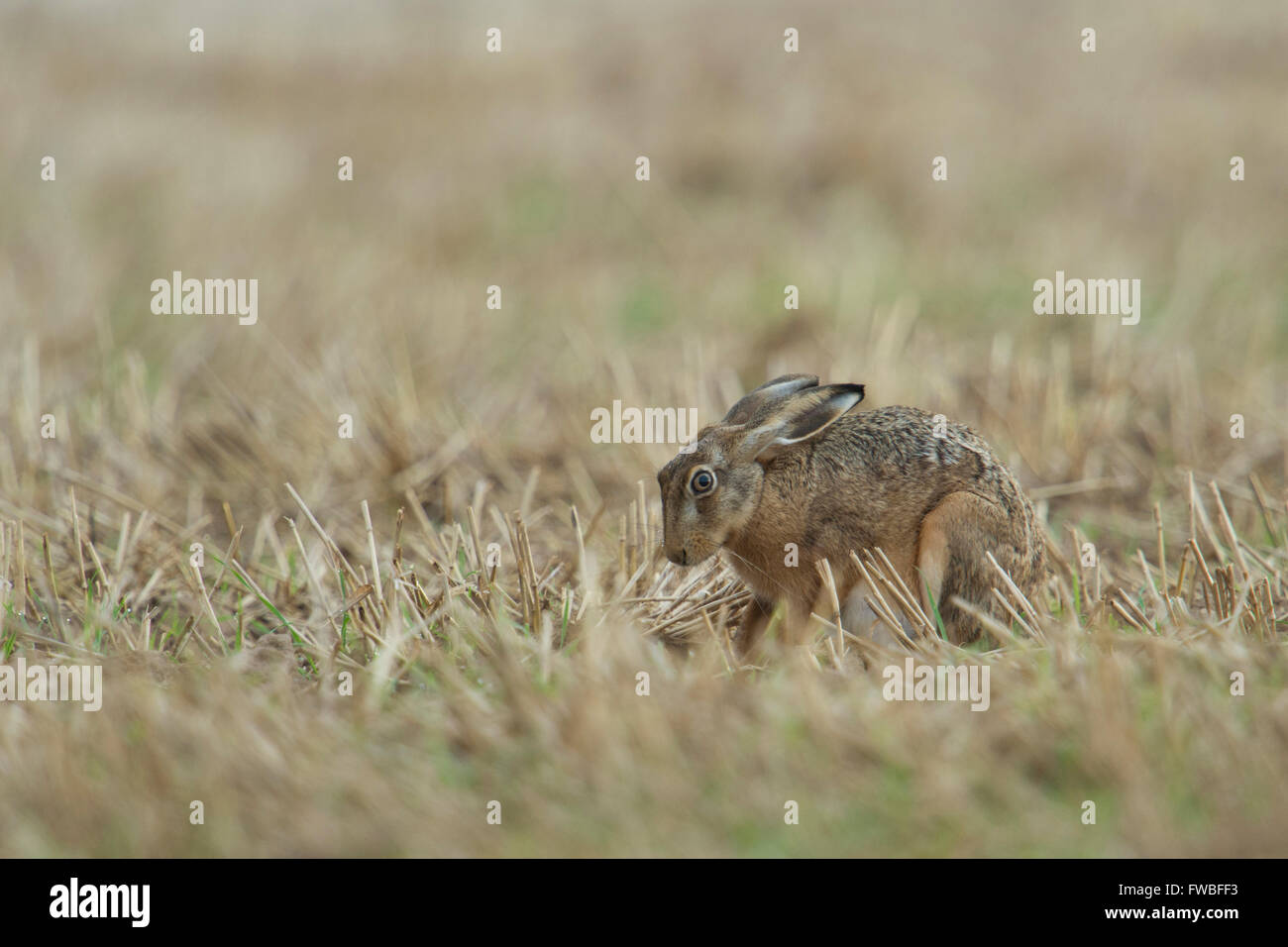 Brown Hare / European Hare / Feldhase ( Lepus europaeus ) sitting in a harvested field, looks a little bit anxious. - Stock Image
