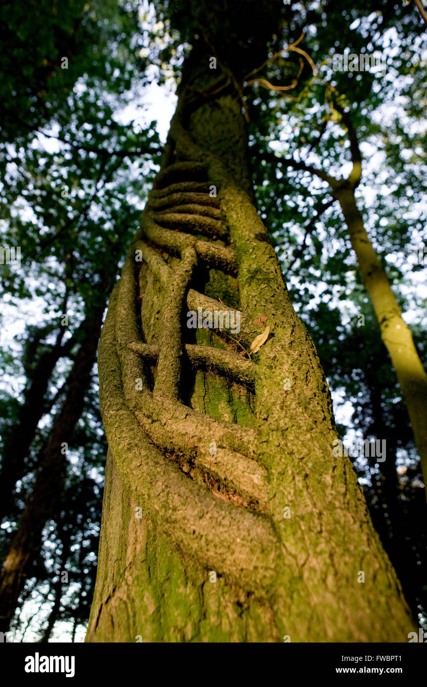 Thick creepers of the ivy plant wind around the trunk of an old tree in one of the UK' old forests. Although - Stock Image