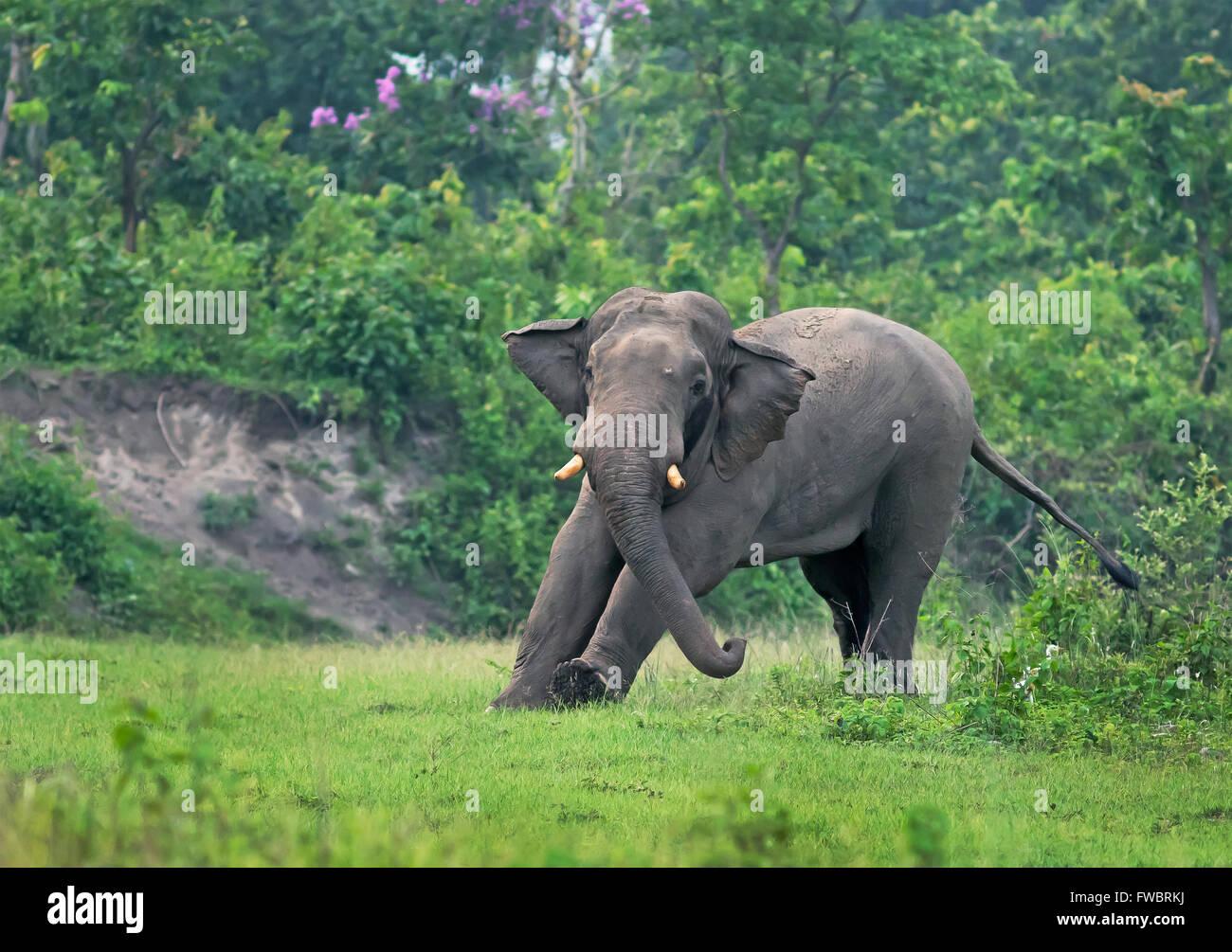 Elephant in Natural Habitat, India - Stock Image