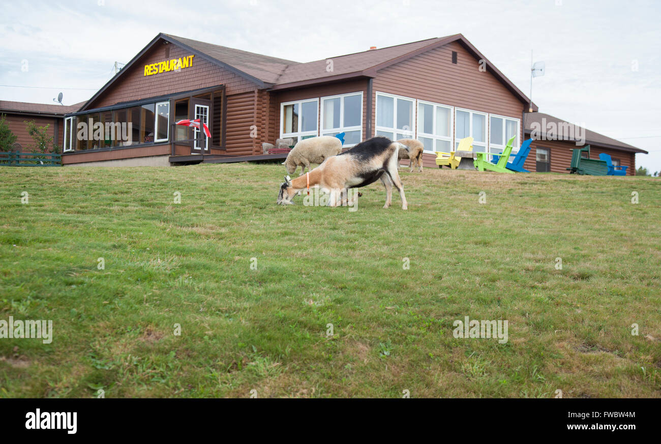 goat and sheep eating on lawn in front of restaurant - Stock Image
