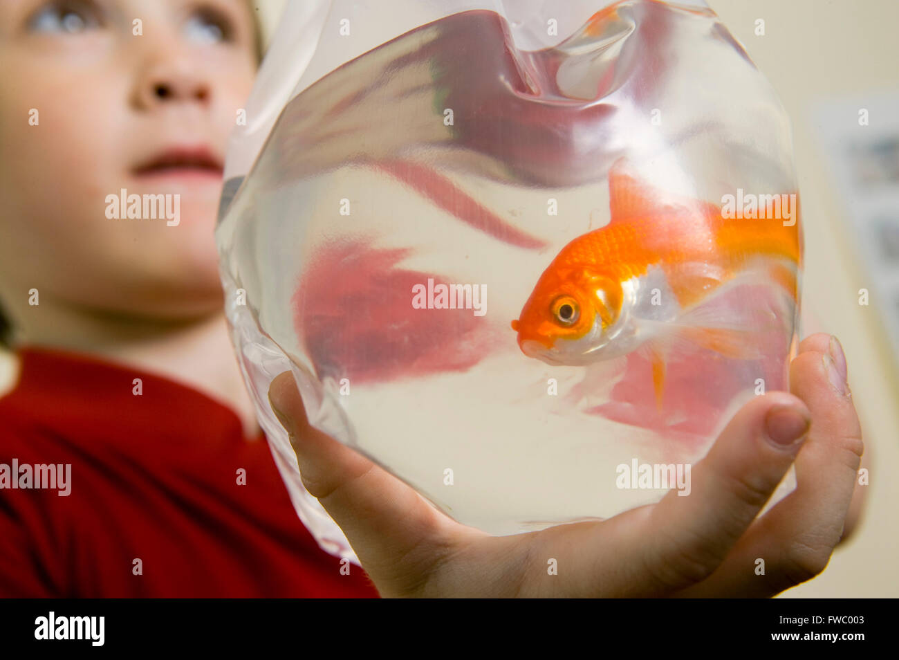 A goldfish in a plastic bag being held by a young boy after being bought from a pet shop and transported home. - Stock Image
