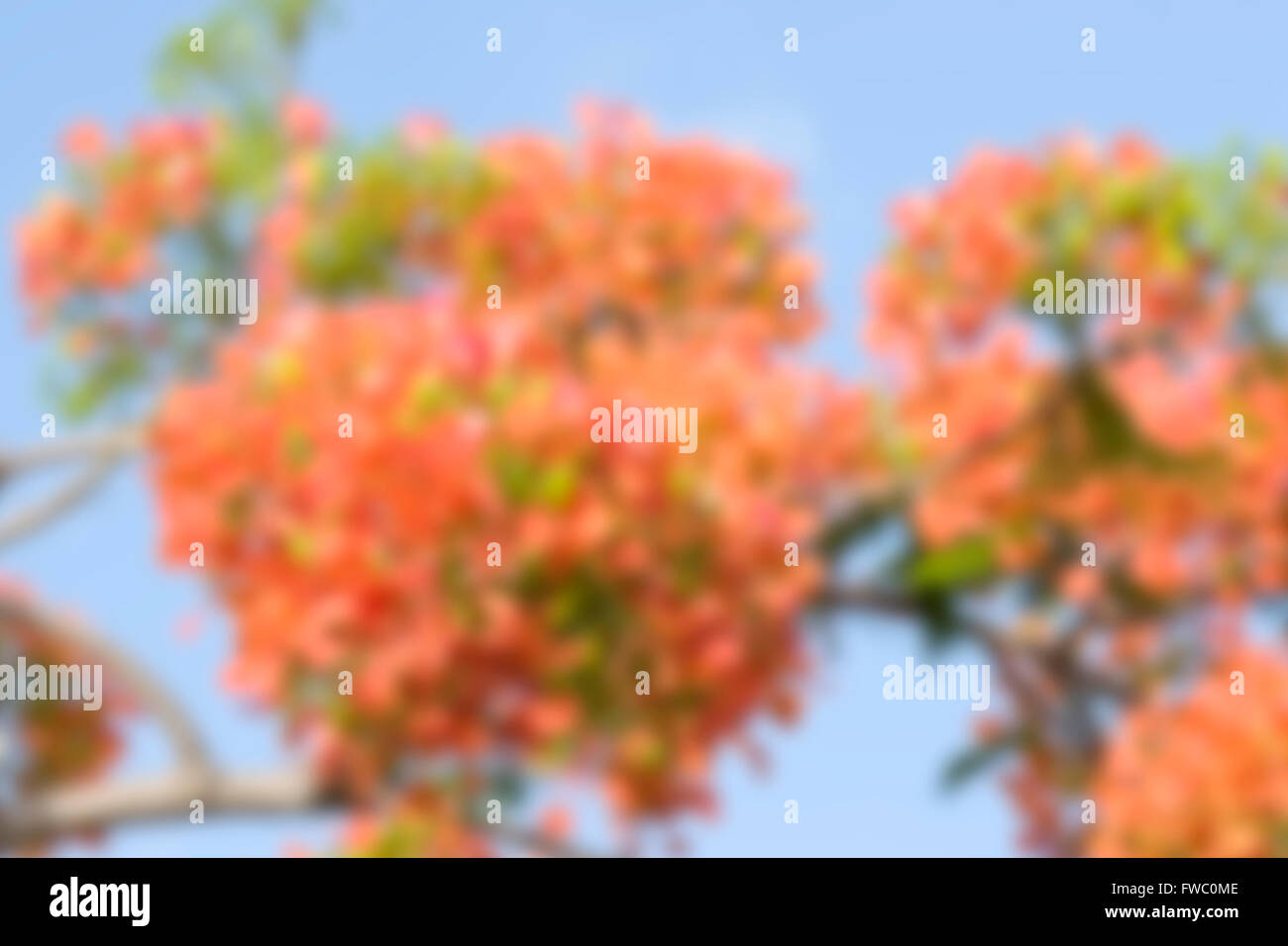 Blurred royal poinciana flowers for background use - Stock Image