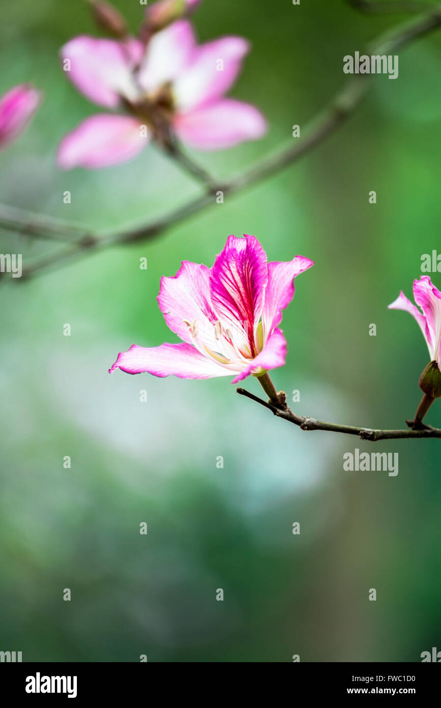 In the spring of the bauhinia flowers are very beautiful stock photo in the spring of the bauhinia flowers are very beautiful izmirmasajfo