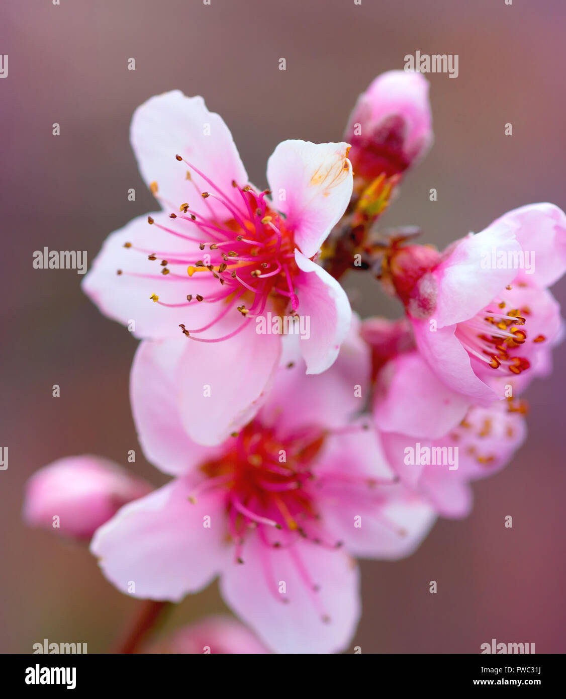 Blurred Background Branches With Beautiful Pink Flowers Peach