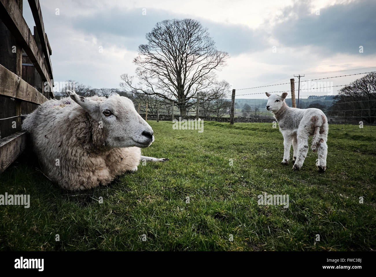 A ewe, lying down, and it's lamb, standing, in a field. - Stock Image