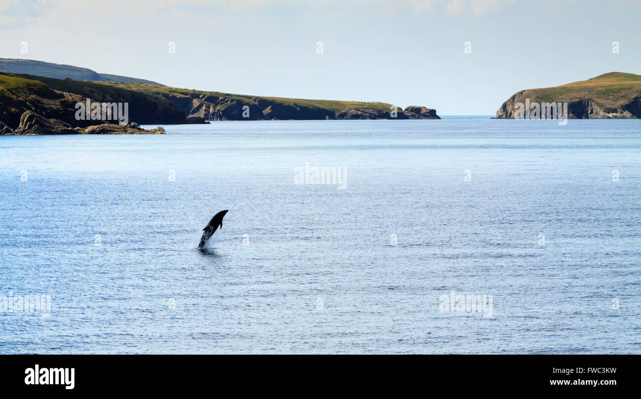 A Bottle Nose Dolphin leaps from the water near Mwnt beach, Cardigan Bay - Stock Image