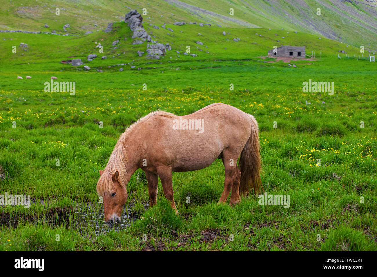 A lovely  Icelandic Horse in a field - Stock Image