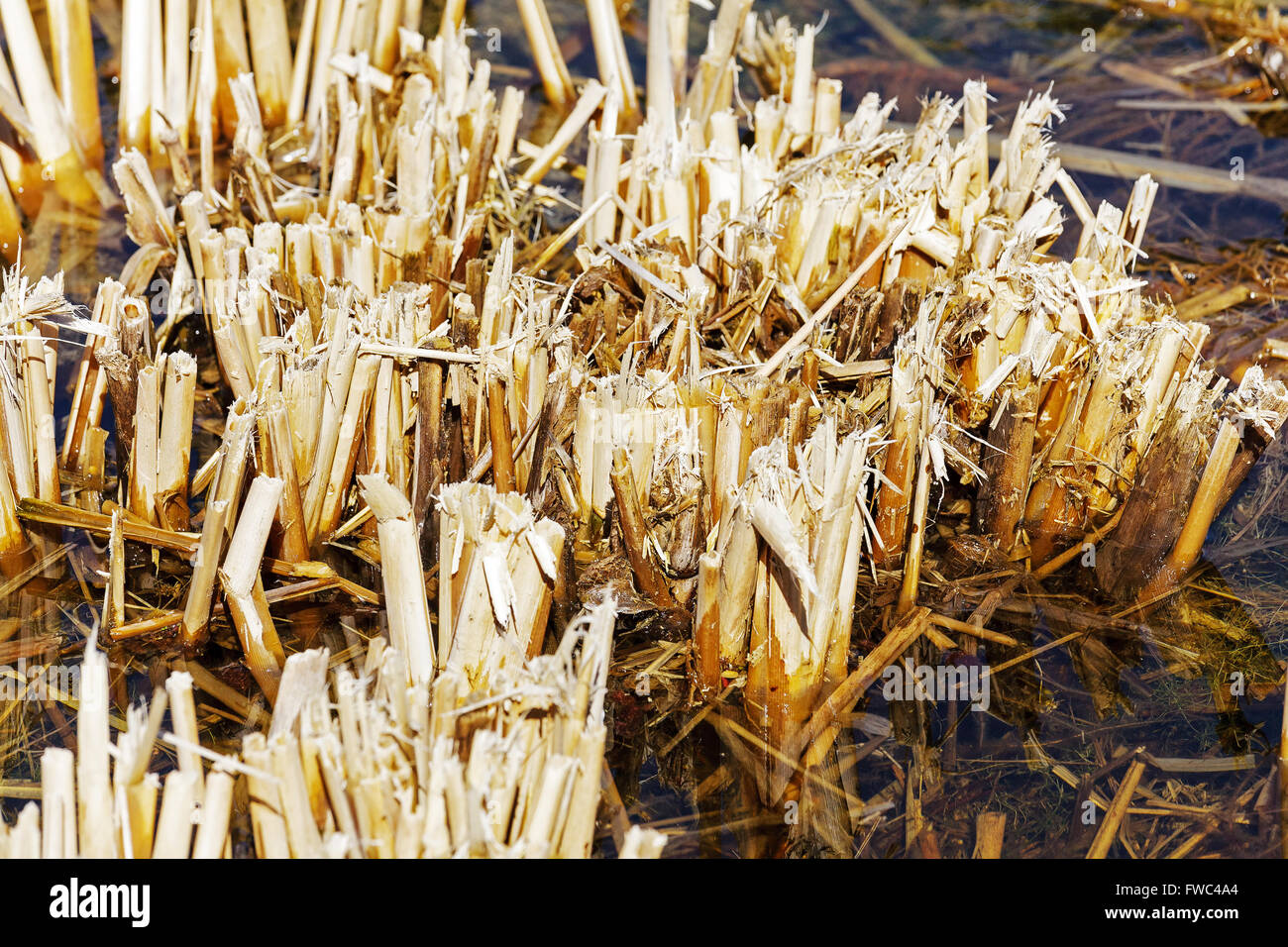 Stems of a reed that are cut off - Stock Image