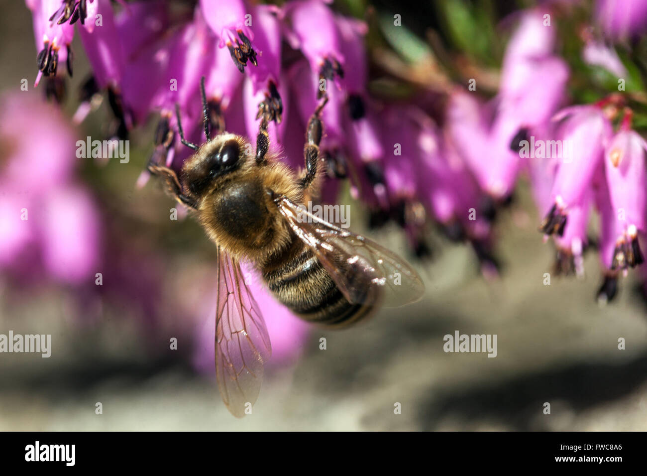Flowering Erica carnea Winter Heath close up and pollinating bee on a flower - Stock Image