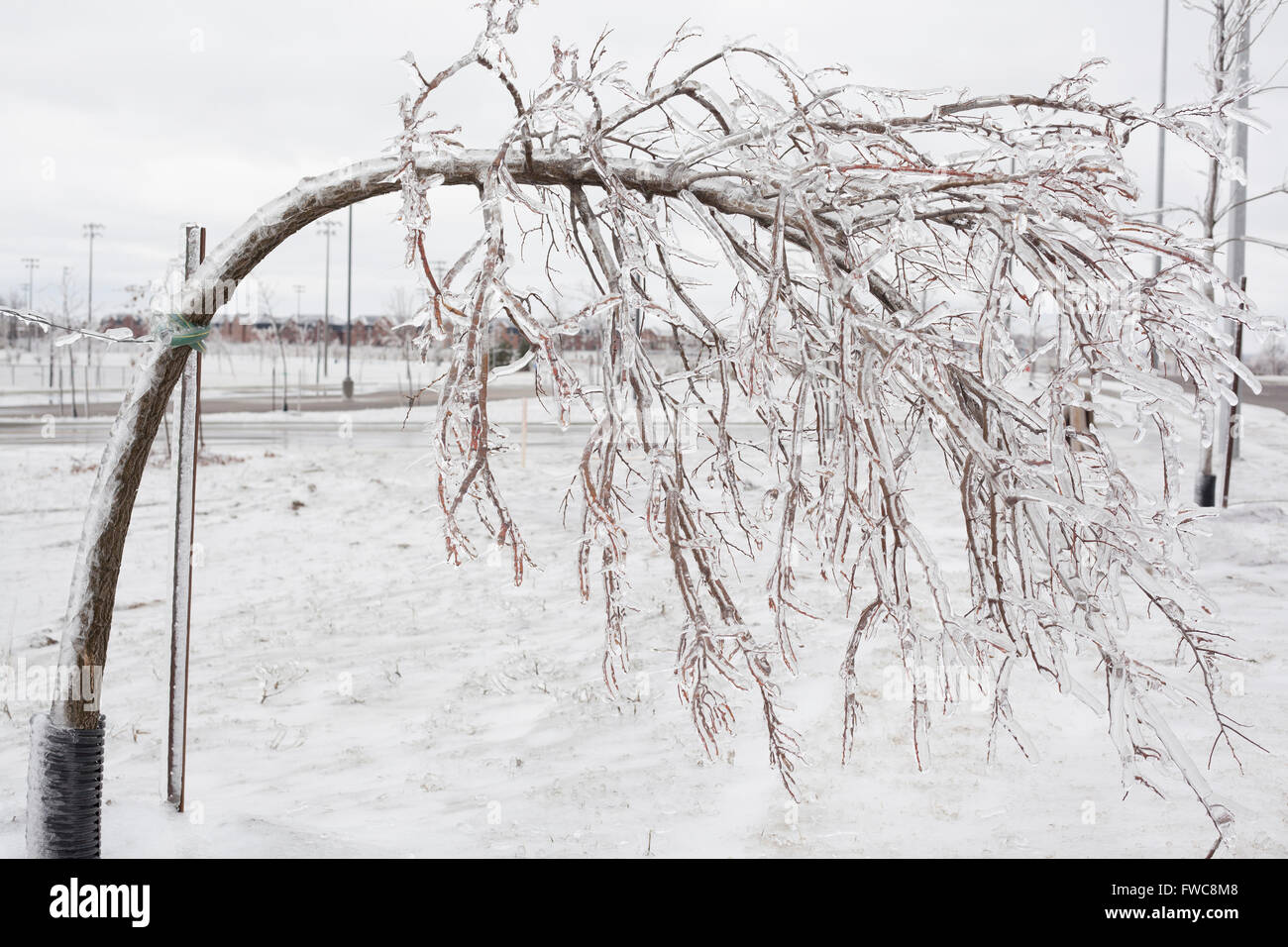 tree bent over from heavy branches  in winter after an ice storm - Stock Image
