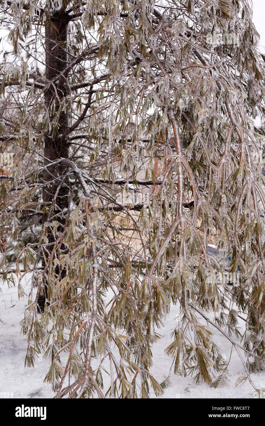 frozen branches of pine tree after ice storm - Stock Image