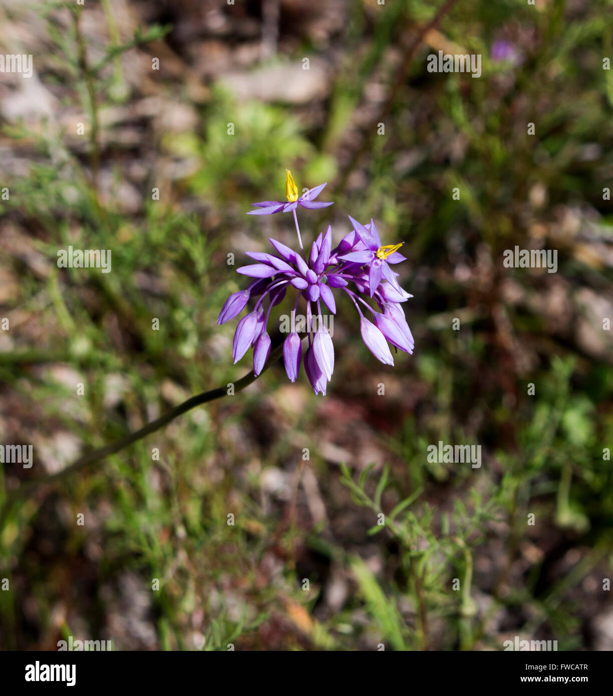 Perennial Herbs Endemic Australia Genus Family Asparagaceae Stock