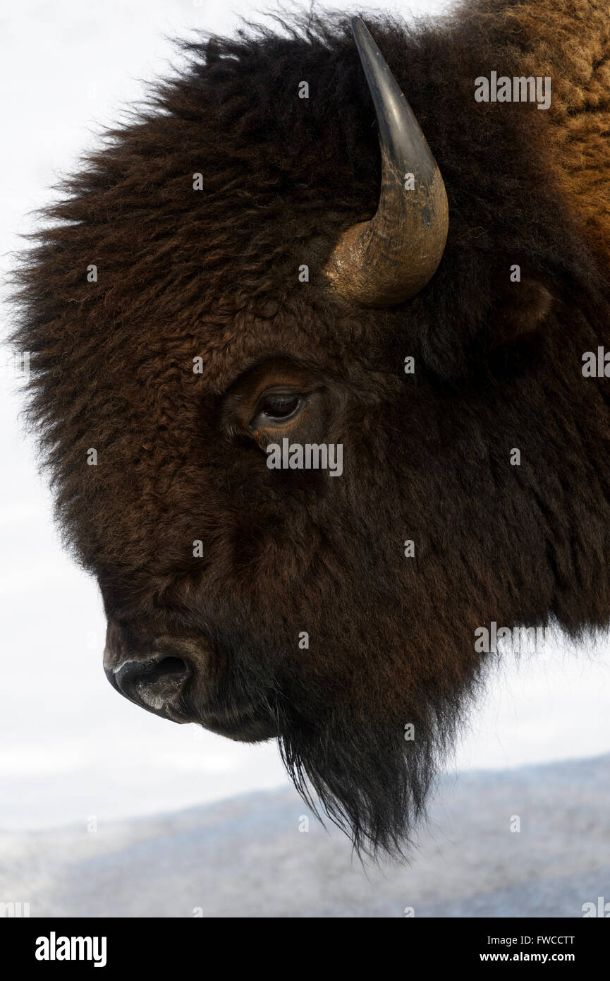 Bison (Bison bison) in snow. Lamar Valley, Yellowstone National Park, Wyoming, Montana, USA - Stock Image
