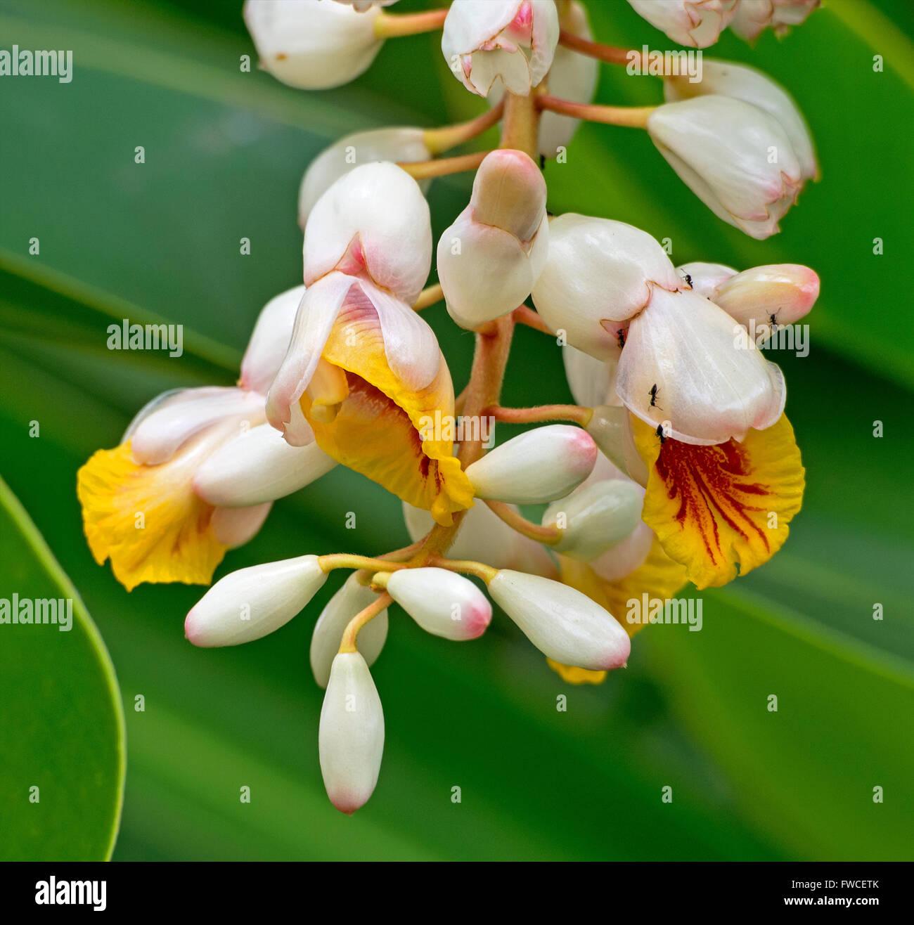 Alpinia zerumbet syn nutans, Shell Ginger, Cardamom Leaf Plant, Cinnamom Ginger - Stock Image