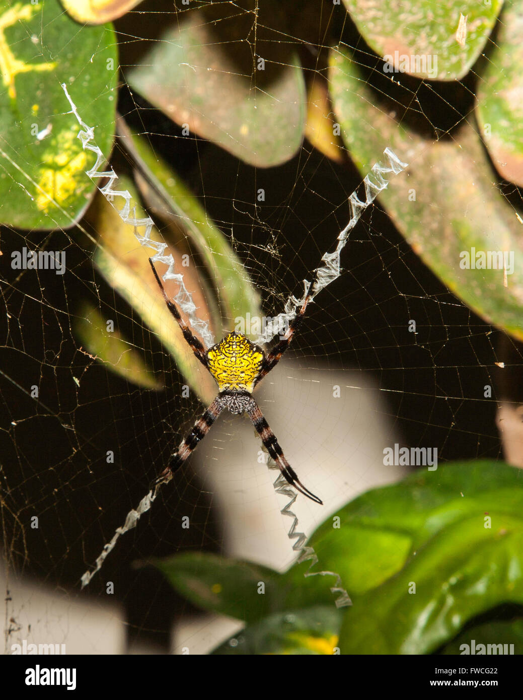 Orb Web Spider in Web - Stock Image