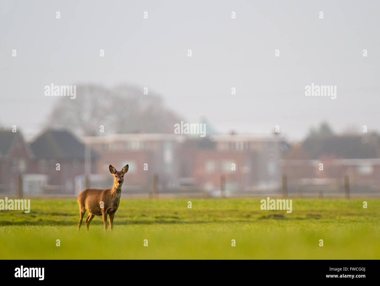 Urbanization: a pregnant Roe deer, in the background a suburb - Stock Image