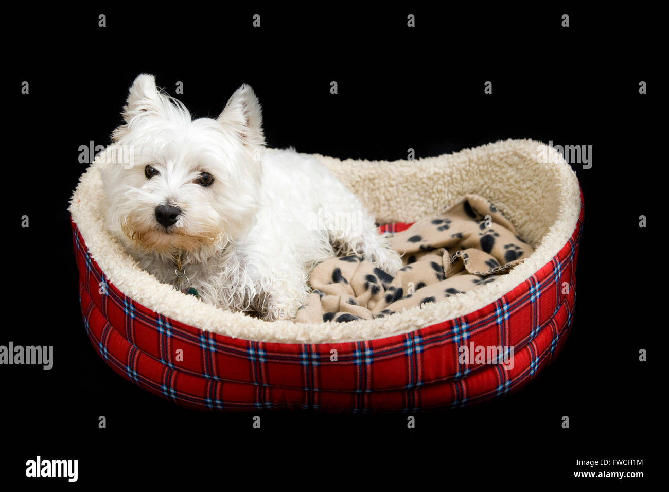 A cute white West Highland Terrier, Westie, lying in it's dog bed on a black studio background - Stock Image