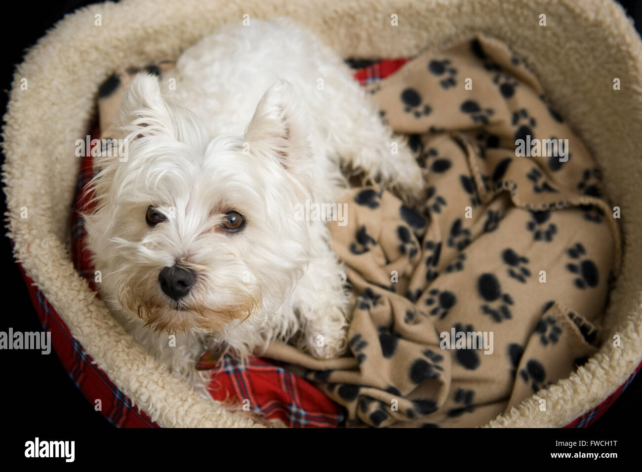 A crop of a cute white West Highland Terrier also known as a Westie, resting in it's dog bed - Stock Image